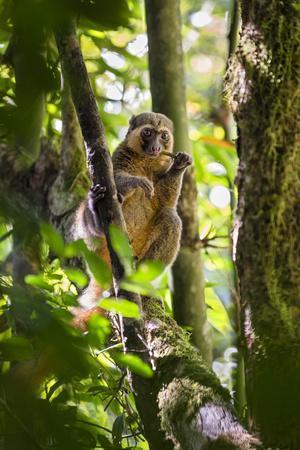 Golden Bamboo Lemur (Hapalemur Aureus) Male Eating Bamboo-Shoot