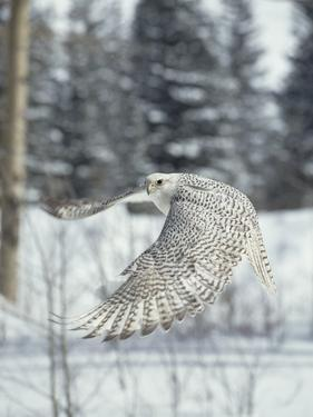 Gyrfalcon (Falco Rusticolus) Adult Female in White Phase Flying, North America by Konrad Wothe