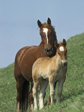 Horse (Equus Caballus) Mare with Foal on Grassy Slope, Italy by Konrad Wothe