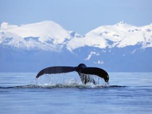 Humpback Whale (Megaptera Novaeangliae) Tail Against Snowy Mountains, Alaska by Konrad Wothe