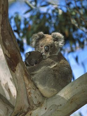 Koala (Phascolarctos Cinereus) Mother with Baby in Eucalyptus Tree, Australia by Konrad Wothe