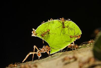 Leafcutter ant (Atta cephalotes,) carrying pieces of leaves, Costa Rica.
