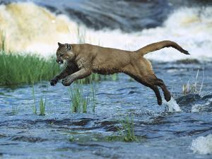 Mountain Lion (Felis Concolor) Leaping across Stream, North America by Konrad Wothe