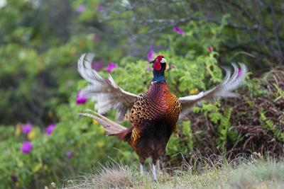 Pheasant male calling, East Frisian Islands, Wittbulten National Park, Germany
