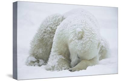 Polar Bear (Ursus Maritimus) Sleeping, Hudson Bay, Canada by Konrad Wothe