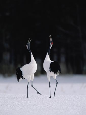 Red-Crowned Crane (Grus Japonensis) Couple in Courtship Display, Hokkaido, Japan by Konrad Wothe