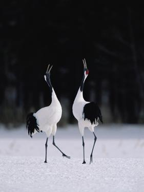 Red-Crowned Crane (Grus Japonensis) Couple in Courtship Display, Hokkaido, Japan by Konrad Wothe