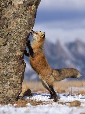 Red Fox (Vulpes Vulpes) Smelling Rock, North America by Konrad Wothe
