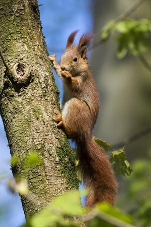Red squirrel (Sciurus vulgaris) feeding in a tree, Bavaria, Germany, Europe