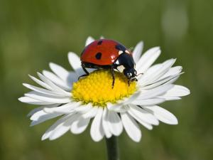 Seven-Spotted Ladybird (Coccinella Septempunctata) on Common Daisy (Bellis Perennis) by Konrad Wothe