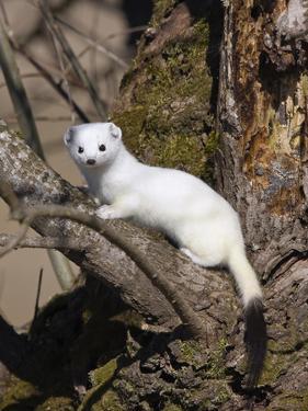 Short-Tailed Weasel (Mustela Erminea) in Winter Coat, Germany by Konrad Wothe