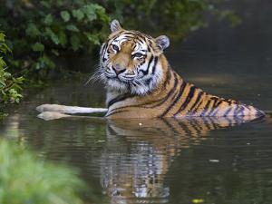 Siberian Tiger (Panthera Tigris Altaica) Bathing, Native to Siberia by Konrad Wothe