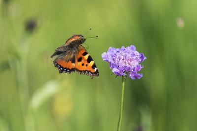 Small tortoiseshell butterfly in flight, Bavaria, Germany