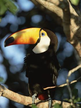 Toco Toucan (Ramphastos Toco) Perching on a Branch, Pantanal, Brazil by Konrad Wothe