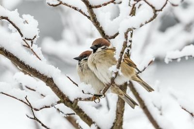 Tree sparrows (Passer montanus) in snow, Bavaria, Germany, March