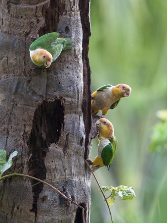White-bellied parrots in rainforest, Tambopata National Reserve, Peru