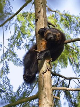 Wolverine (Gulo Gulo) Resting in Tree, Native to North America and Europe by Konrad Wothe