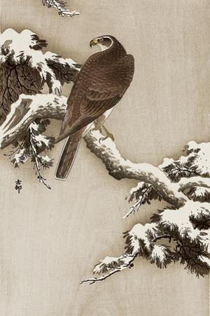 Goshawk on a Snow Covered Pine Branch
