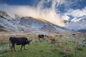 Herd of Cows in a Pasture in the Mountains. Autumn Landscape with the First Snow. Mountain Shkhara by Kotenko