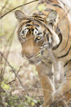 https://imgc.allpostersimages.com/img/posters/krishna-t19-royal-bengal-tiger-tigris-tigris-ranthambhore-rajasthan-india_u-L-PWFS200.jpg?artPerspective=n