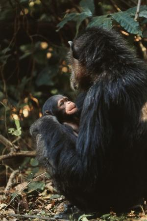 Africa, Female Chimpanzee and Infant