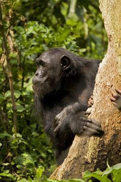 Africa, Uganda, Kibale National Park. A female chimpanzee eats dead wood. by Kristin Mosher