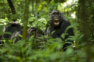 Africa, Uganda, Kibale National Park. A juvenile chimpanzee grooming. by Kristin Mosher
