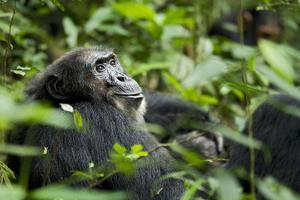 Africa, Uganda, Kibale National Park. A male chimpanzee looks over his shoulder. by Kristin Mosher