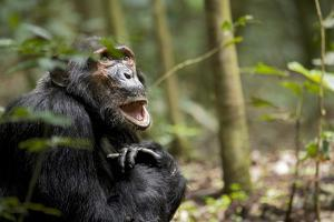 Africa, Uganda, Kibale National Park. A male chimpanzee looks up into the trees. by Kristin Mosher