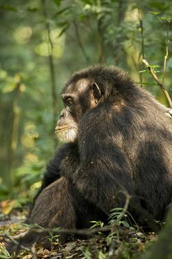 Africa, Uganda, Kibale National Park. A male chimpanzee observing his surroundings. by Kristin Mosher