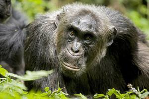 Africa, Uganda, Kibale National Park. A male chimpanzee relaxes as he is groomed. by Kristin Mosher