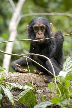 Africa, Uganda, Kibale National Park. A playful and curious infant chimpanzee. by Kristin Mosher