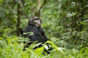 Africa, Uganda, Kibale National Park. A wet male chimpanzee looks over his shoulder. by Kristin Mosher