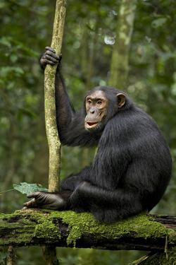 Africa, Uganda, Kibale National Park. A young adult chimpanzee anticipates arrival of other chimps. by Kristin Mosher