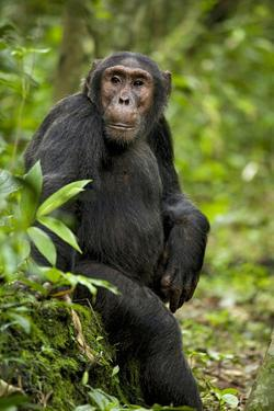 Africa, Uganda, Kibale National Park. A young adult chimpanzee listens. by Kristin Mosher