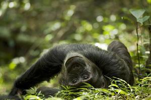 Africa, Uganda, Kibale National Park. A young adult male chimpanzee lying down on forest path. by Kristin Mosher