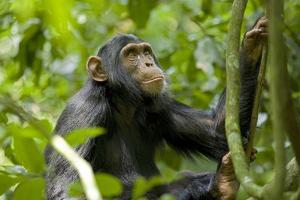 Africa, Uganda, Kibale National Park. An adolescent male chimpanzee. by Kristin Mosher