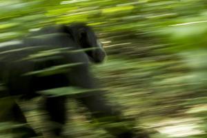 Africa, Uganda, Kibale National Park. An adult male chimpanzee traveling. by Kristin Mosher