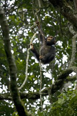 Africa, Uganda, Kibale National Park. An infant chimpanzee climbs a vine. by Kristin Mosher