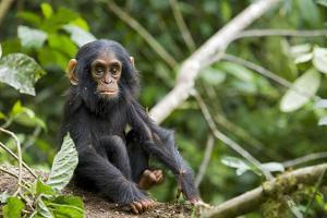 Africa, Uganda, Kibale National Park. An infant chimpanzee pauses briefly during play. by Kristin Mosher