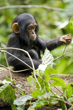 Africa, Uganda, Kibale National Park. An infant chimpanzee plays with a stick. by Kristin Mosher