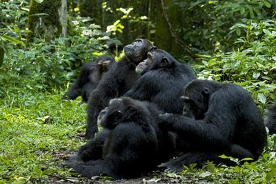 Africa, Uganda, Kibale National Park. Chimpanzee males viewing a female.