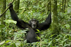 Africa, Uganda, Kibale National Park. Chimpanzee was making faces. by Kristin Mosher