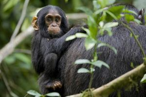 Africa, Uganda, Kibale National Park. Curious infant chimpanzee. by Kristin Mosher