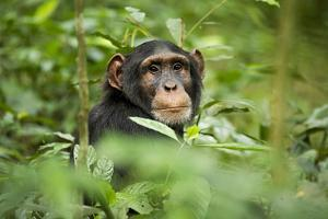 Africa, Uganda, Kibale National Park. Curious, young adult chimpanzee, 'Wes'. by Kristin Mosher