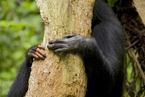 Africa, Uganda, Kibale National Park. Hands of a female chimpanzee and her offspring. by Kristin Mosher