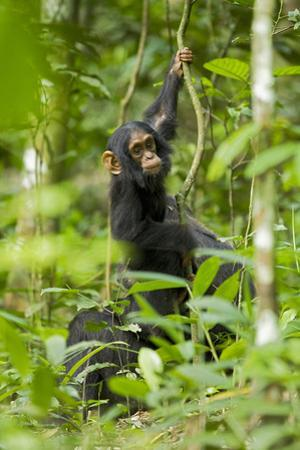 Africa, Uganda, Kibale National Park. Infant chimpanzee playing.