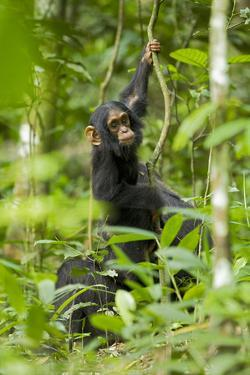 Africa, Uganda, Kibale National Park. Infant chimpanzee playing. by Kristin Mosher