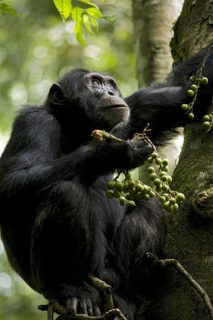Africa, Uganda, Kibale National Park. Male chimpanzee eating figs.