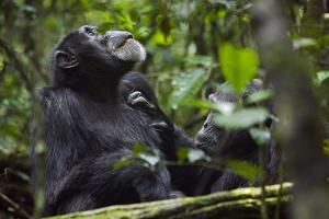 Africa, Uganda, Kibale National Park. Male chimpanzee grooms his relaxed companion's chest. by Kristin Mosher